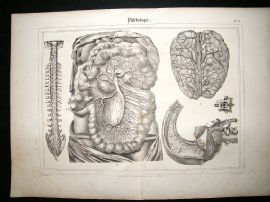 Anatomy Print: 1835 Philebology, Folio.